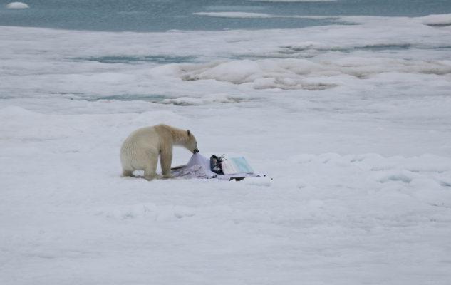Ein Eisbär zu Besuch im Atelier
